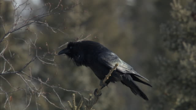 a crow perches on a dry branch then flies away. - crow stock videos & royalty-free footage