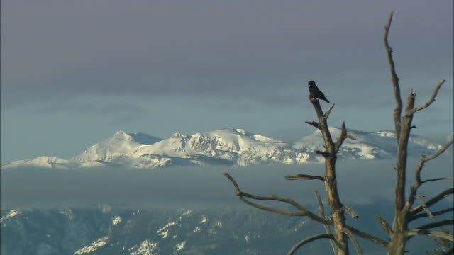ws zi crow perching on top of dead tree with snowy mountain range in background / grand teton national park, wyoming, usa - perching stock videos & royalty-free footage