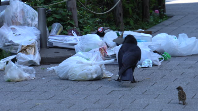 crow pulls food out of a discarded plastic bag - crow stock videos & royalty-free footage