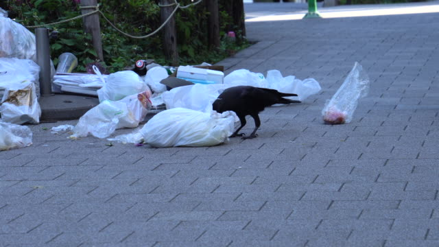 crow pulls food out of a discarded plastic bag - scavenging stock videos & royalty-free footage