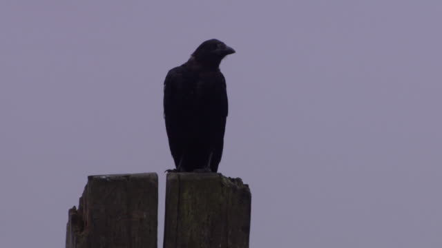 vídeos de stock e filmes b-roll de a crow sits on a wooden post in a harbour before flying away, cobh, county cork, ireland. - poste de madeira