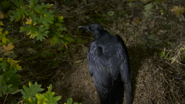 Crow (Corvus corone) takes off from wood ant (Formica rufa) nest.