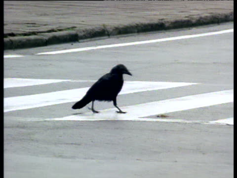 crow uses pedestrian crossing to eat crushed nut on road, japan - near miss stock videos and b-roll footage