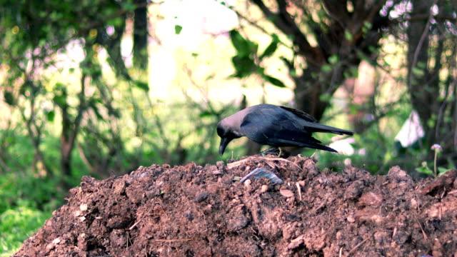 crow (corvus corax) - crow stock videos & royalty-free footage