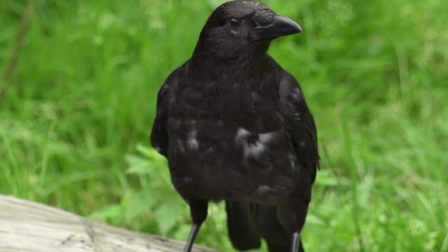 slow motion: crow - raven stock videos & royalty-free footage