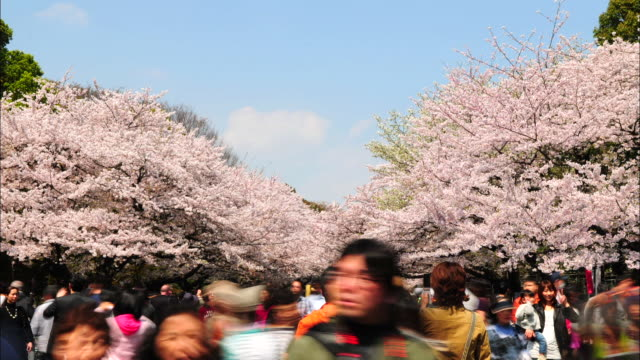 t/l ms crowd in ueno park with cherry blossoms, tokyo, japan - cherry blossom stock videos & royalty-free footage