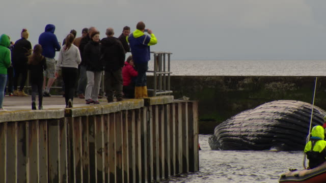 vídeos de stock e filmes b-roll de crowd looking on as dead humpback whale is towed in to helmsdale harbour - emaranhado