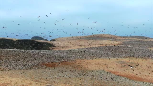 crowd of birds taking over desert coastline / punta san juan, peru, south america - plain stock videos & royalty-free footage