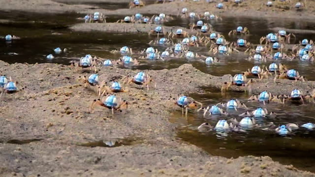 crowd of blue soldier crabs on beach - crab stock videos & royalty-free footage