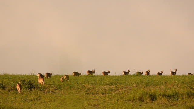 crowd of deer walk follow