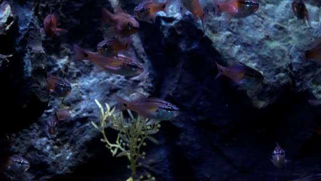 crowd of spotnape cardinalfish under backlight