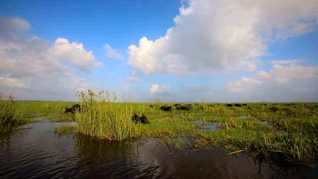 crowd of water buffaloes wading in the river or lake. - water buffalo stock videos & royalty-free footage