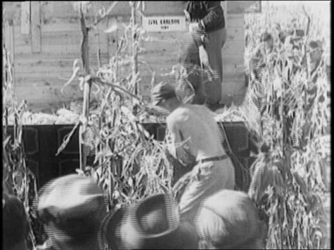 crowd running to cornfield / goodyear blimp flies overhead / men walk along the rows picking ears of corn throwing them into a truck / crowd watches... - husking stock videos & royalty-free footage