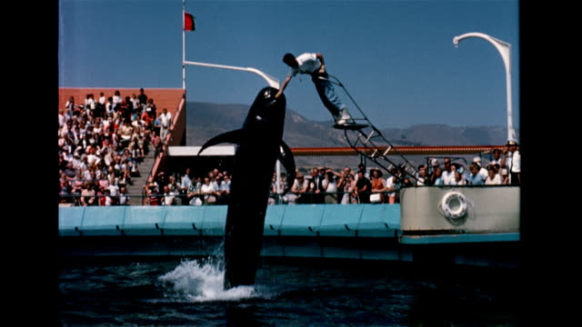 / crowded amphitheater at marineland / killer whale jumps out of water to get fish from trainer on ladder / whales perform tricks for the crowd /... - palos verdes stock videos & royalty-free footage