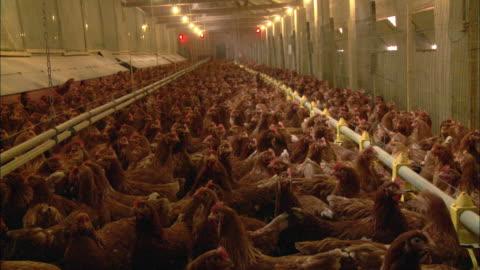 vídeos y material grabado en eventos de stock de ws crowded chicken farm / virton, luxembourg, belgium - ave de corral