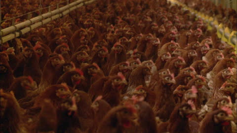 cu crowded chicken farm / virton, luxembourg, belgium - pen stock videos & royalty-free footage