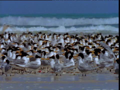 crowded colony of lesser crested terns on beach, western australia - 空気力学点の映像素材/bロール