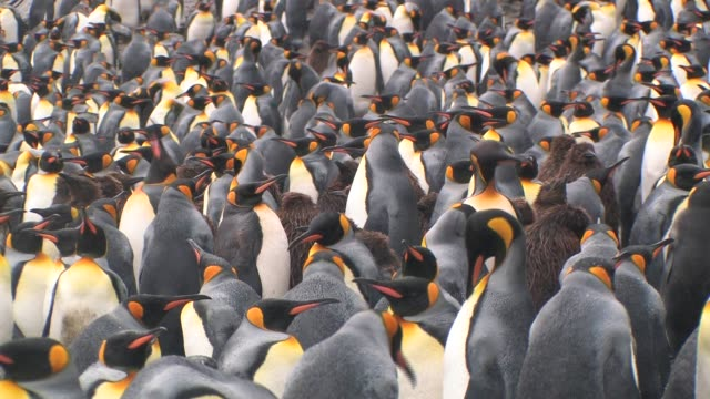 CU, Crowded King penguins (Aptenodytes patagonicus), South Georgia Island, Falkland Islands, British overseas territory