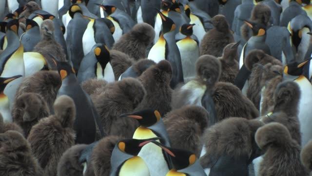 vídeos y material grabado en eventos de stock de cu, crowded king penguins (aptenodytes patagonicus), south georgia island, falkland islands, british overseas territory - pingüino cara blanca