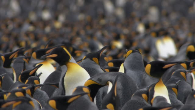 cu, selective focus, crowded king penguins,  south georgia island - 50 seconds or greater stock videos & royalty-free footage