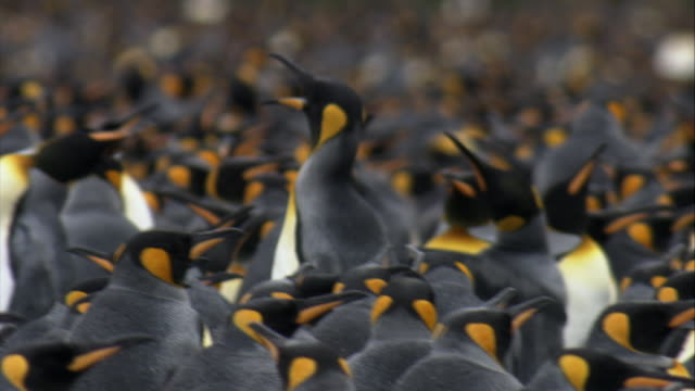 cu, pan, selective focus, crowded king penguins,  south georgia island - abundance stock videos & royalty-free footage