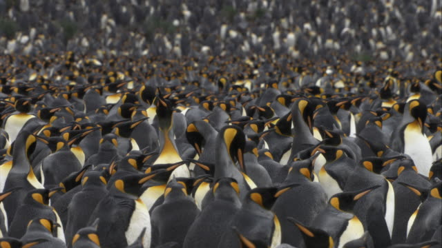 CU, PAN, SELECTIVE FOCUS, Crowded King Penguins,  South Georgia Island