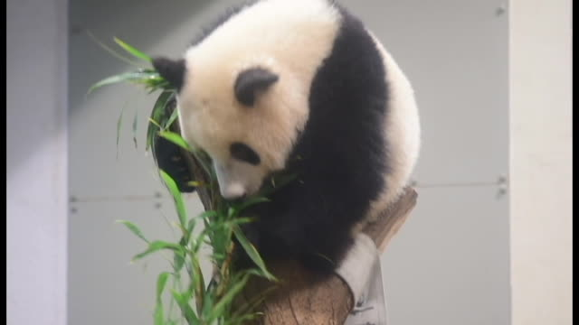 crowd-pulling xiang xiang showed just why she is so popular as she energetically played with a hammock and climbed trees at tokyo's ueno zoo on june... - zoologia video stock e b–roll