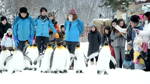 Crowds are flocking to see penguins strut their stuff on a snowy footpath at Asahiyama Zoo December 23 2015 in Asahikawa Japan The flightless birds...