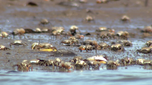 crowds of crabs - mud flat stock videos and b-roll footage