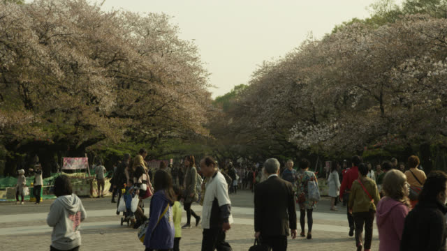Crowds of people gather to see the cherry blossom festival, Tokyo, Japan.