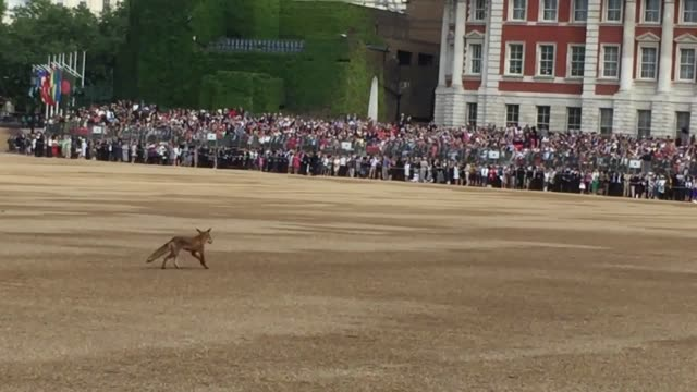 crowds waiting for the start of the trooping the colour ceremony were left amazed when a fox darted out from under the stands and ran onto horse... - animal colour stock videos & royalty-free footage