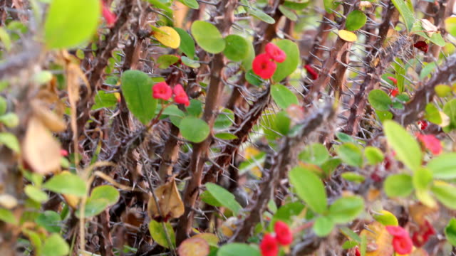 crown of thorns, christ plant, or christ thorn in bloom, tenerife - thorn stock videos & royalty-free footage