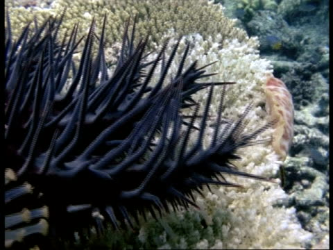 vidéos et rushes de cu crown of thorns starfish, acanthaster planci, underwater, spiny arms creeping over white coral, australia - organisme aquatique