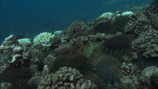 Crown of thorns starfish (Acanthaster planci) feeding on dying coral reef, French Polynesia