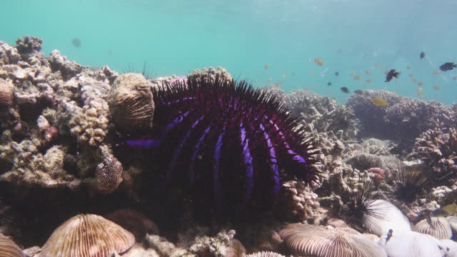 Crown of thorns starfish in Lord Loughbolough or Sea Dragon island, Myanmar