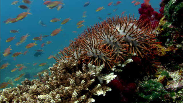 Crown of thorns starfish (Acanthaster planci) on coral reef, West Papua, Indonesia