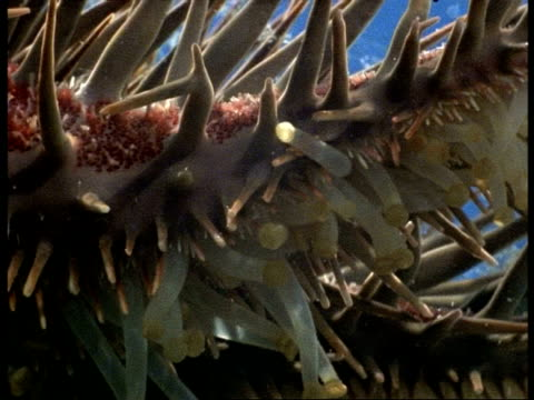 vidéos et rushes de crown of thorns starfish (acanthaster planci) tube-feet on underside of thorns, great barrier reef - organisme aquatique