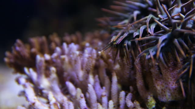 vídeos de stock, filmes e b-roll de a crown of throns in an aquarium - organismo aquático