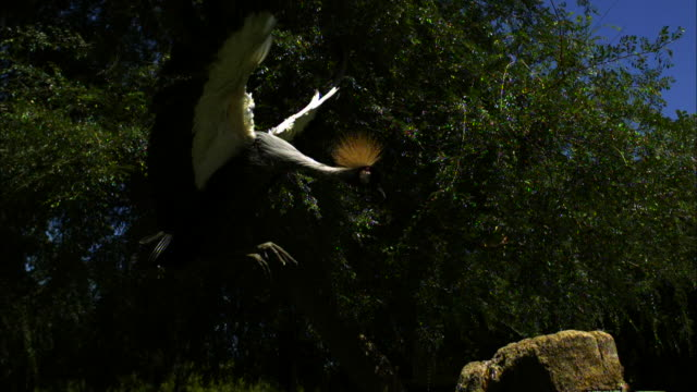 A crowned crane approaches a stump with its wings spread for landing.