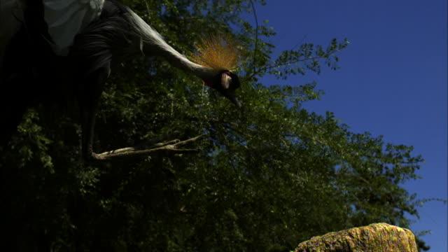 a crowned crane lands on a tree stump. - gliedmaßen körperteile stock-videos und b-roll-filmmaterial