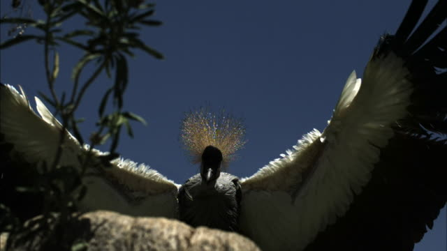 A crowned crane swoops down onto a stump with its massive wings spread.