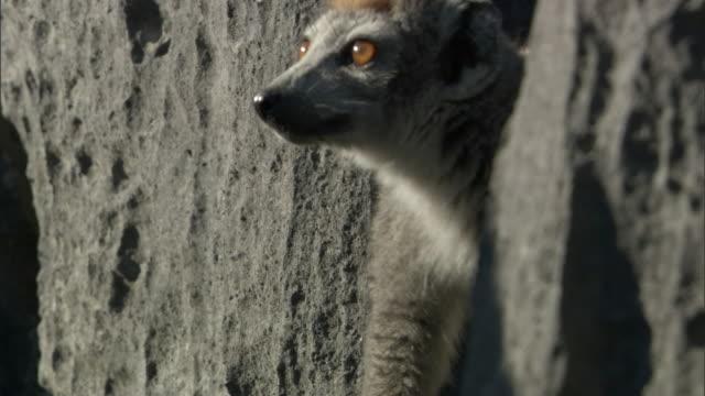 Crowned lemur (Eulemur coronatus) jumps on limestone karst Tsingy, Ankarana, Madagascar