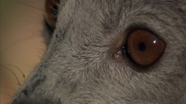 crowned lemur (eulemur coronatus) looks around, madagascar - animal eye stock videos and b-roll footage