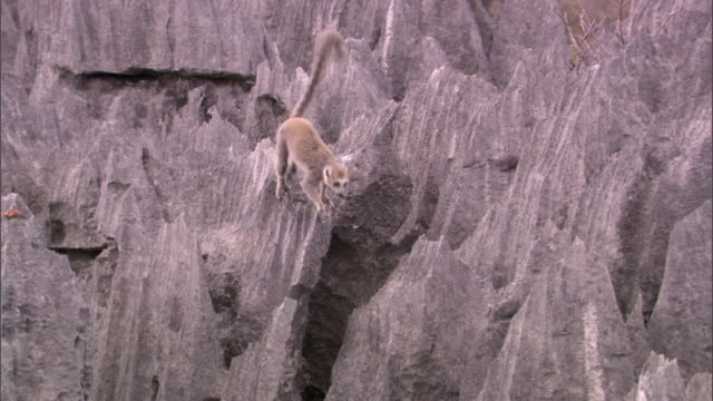 crowned lemur (eulemur coronatus) on eroded limestone karst tsingy, ankarana, madagascar - balance stock videos & royalty-free footage
