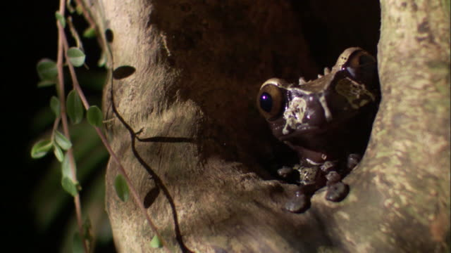 crowned tree frog (anotheca spinosa) on tree trunk, costa rica - tree trunk stock videos & royalty-free footage