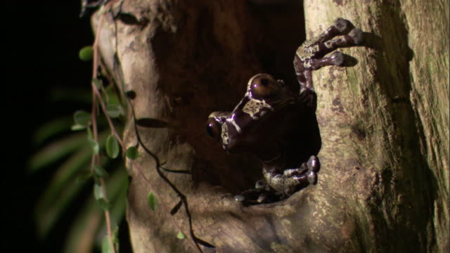 vidéos et rushes de crowned tree frog (anotheca spinosa) on tree trunk, costa rica - tronc d'arbre