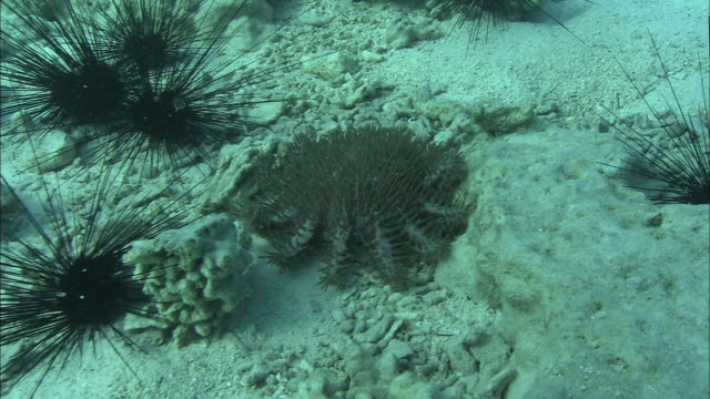 a crown-of-thorns starfish and black sea urchins lie on the seabed. available in hd. - ヒトデ点の映像素材/bロール