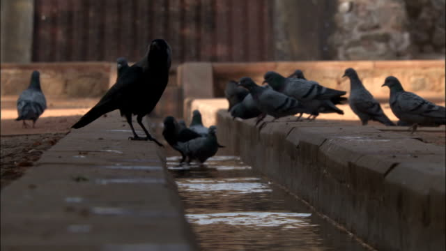 crows and pigeons bathing in gutter at humayun's tomb available in hd. - gutter stock videos and b-roll footage