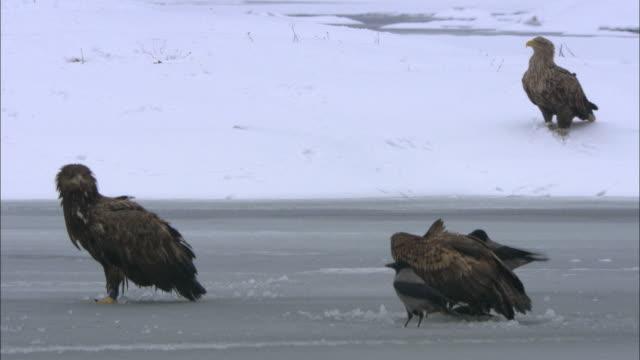 vídeos de stock e filmes b-roll de ws pan crows and white-tailed eating fish on frozen water / sweden - gelo picado