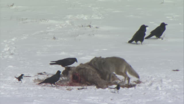 ms crows and wolf feeding on carcass / yellowstone national park, wyoming, usa - medium group of animals stock videos & royalty-free footage
